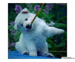Puppy white swiss shepherd for sale