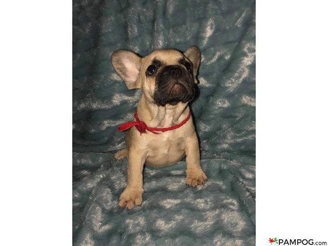 French bulldog - 1/9