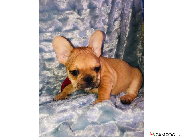 French bulldog - 4/9
