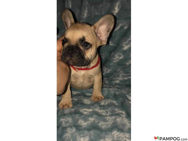 French bulldog - 6/9