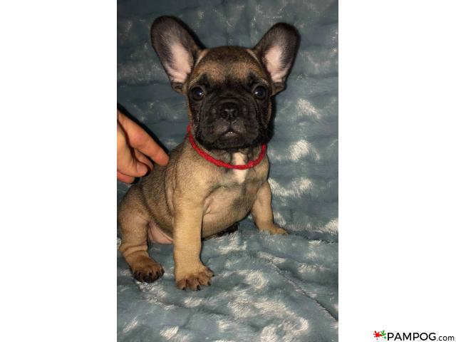 French bulldog - 8/9