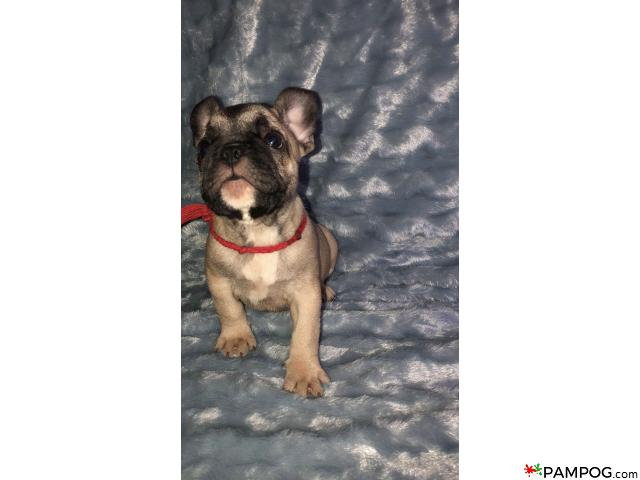French bulldog - 9/9